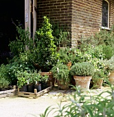Culinary herbs in flowerpots