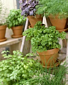 Curly leaf parsley in flowerpot (Petroselinum crispum)