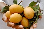 Hand holding fresh gandaria (plum mangos)