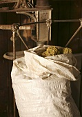 An open sack of dried hops