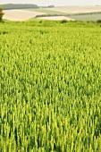 Ein grünes Weizenfeld im Sommer