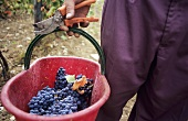 Man holding bucket of freshly picked red wine grapes