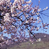 Flowering almond tree, vineyards in background (Palatinate)