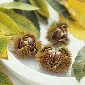 Three ripe sweet chestnuts with chestnut leaves