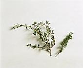 Fresh wild thyme (Thymus serpyllum)