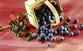 A spilt basket of blueberries