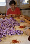 Saffron stigmas being picked from the flowers by hand