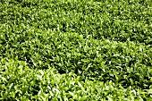 A tea plantation in Shizuoka, Japan