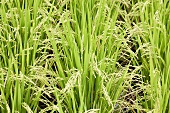 Paddy field (Shizuoka, Japan)