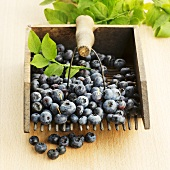 Blueberries with a gardening fork