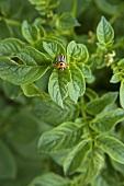 A potato bug on the potato plant