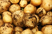 Freshly harvested potatoes (close-up)