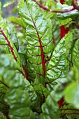 Red chard (close up)