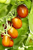 'Black Plum' organic tomatoes