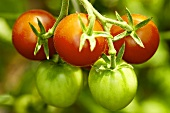 'Clarita' organic tomatoes