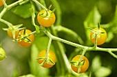 Bio-Wildtomaten der Sorte 'Gelbe Johannisbeere'