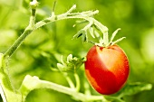 'Olirose' ('Oilrose de San Domingo') organic tomato