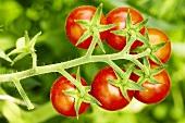 'Resi' organic tomatoes