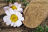 Mountain atlas daisy (anacyslus pyrethrum), flowers and powder