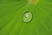 Drops of water on a lotus leaf (close-up)