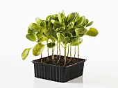 Bussels sprouts plants