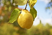 A quince on the tree