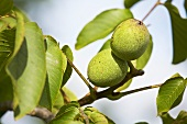 Walnuts on branch