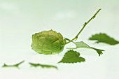Hops shoots and leaves