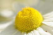 Camomile flowers (detail)