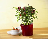 Chilli plant in pot