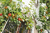 An apple tree (espalier) growing on the wall of a house