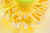 A lotus flower pollen