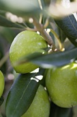 Green olives on a twig (close-up)
