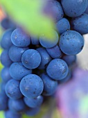 Red wine grapes (pinot noir)
