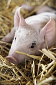 A piglet in straw (close-up)