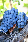 Red wine grapes in Provence