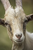 A goat (close-up)