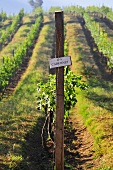 A vineyard in Asia