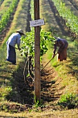 Workers in an oriental vineyard