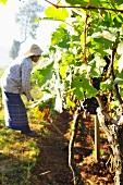 A worker in an oriental vineyard