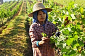 A worker in an oriental vineyard