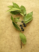 A bay leaf with berries