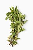 Paracress (acmella oleracea), a medicinal herb from Brazil