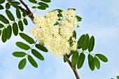 Rowan blossom on the branch