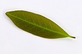 A yerba maté leaf (Ilex paraguayensis)
