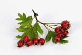 A bunch of haws (hawthorn fruits)