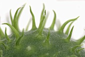 Detail of a wild cucumber