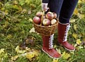 Basket of freshly picked apples