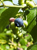 Blueberries on branch (close-up)