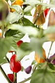 Chillies on the plant (close-up)